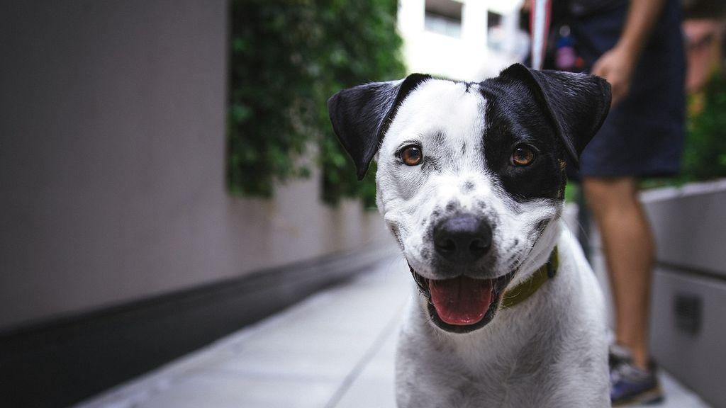 Las cinco mejores razas de perros para regalar a un senior