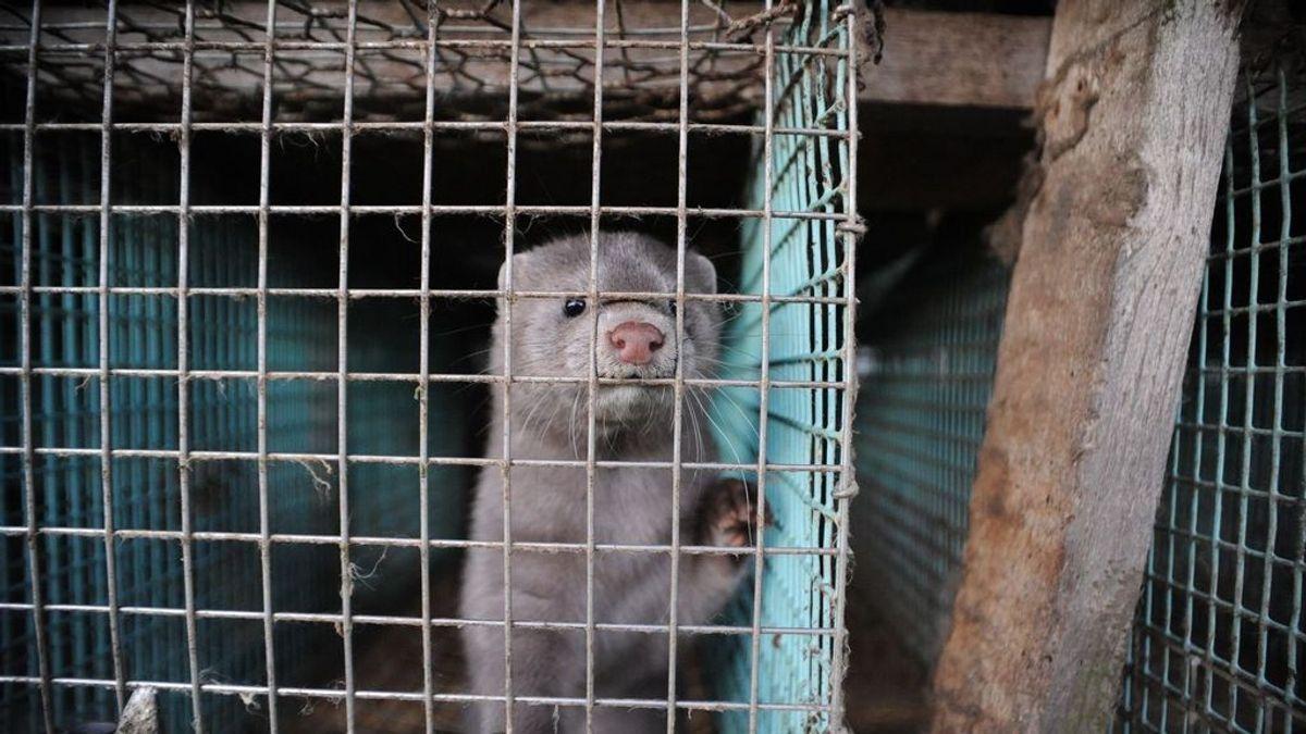 """WWF pide el cierre de las 32 granjas de visones americanos en España: """"No hay más tiempo, son una bomba biológica"""""""