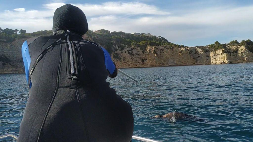 Veterinarios logran inyectar un antibiótico con una cerbatana a una foca gris herida en la costa de Alicante