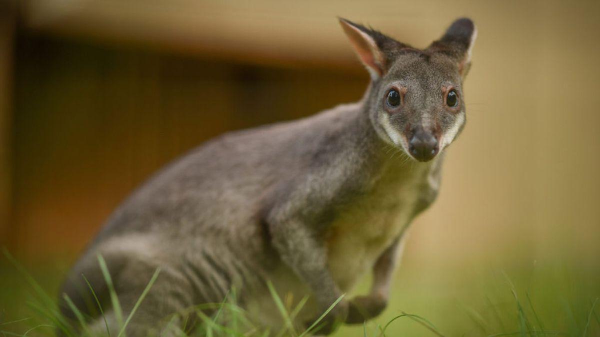 Los canguros pueden comunicarse con las personas, según un estudio