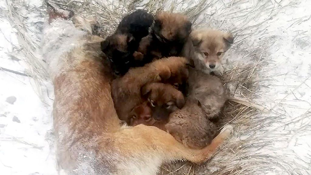 La tierna imagen de 7 cachorros acurrucados con el cadáver de su madre tras una nevada en Siberia