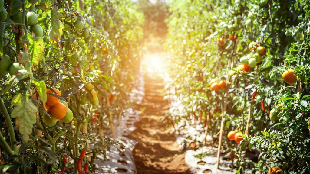 La guerra del tomate: ¿Por qué ya no saben como los de antes?
