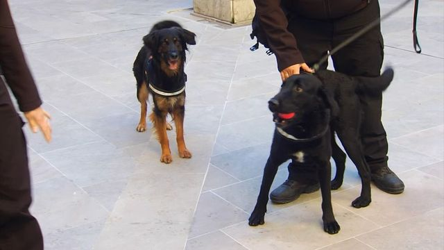 """Adiestran a dos perros en España para detectar el coronavirus con el olfato: """"Rozan el 100% de efectividad"""""""