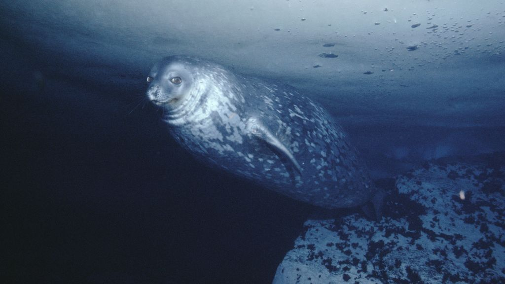 Las focas producen ultrasonidos: logran grabar su voz 'Star Wars' en las profundidades antárticas