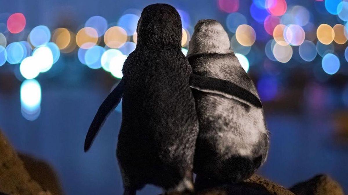 Dos pingüinos consolándose por la pérdida de sus parejas: la foto ganadora del Ocean Photo Awards que resume 2020