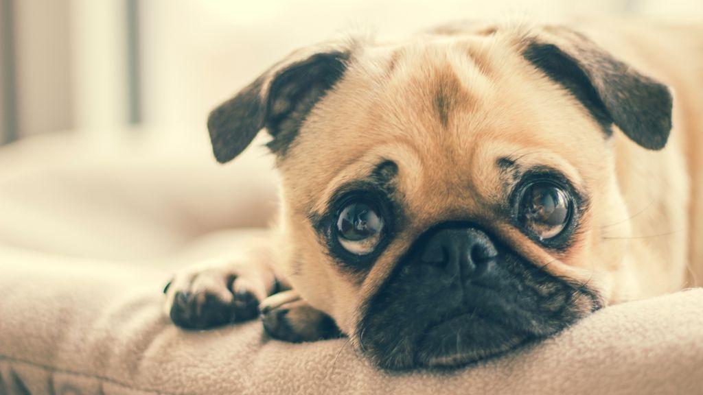 Consejos para que tu perro no sufra con los petardos