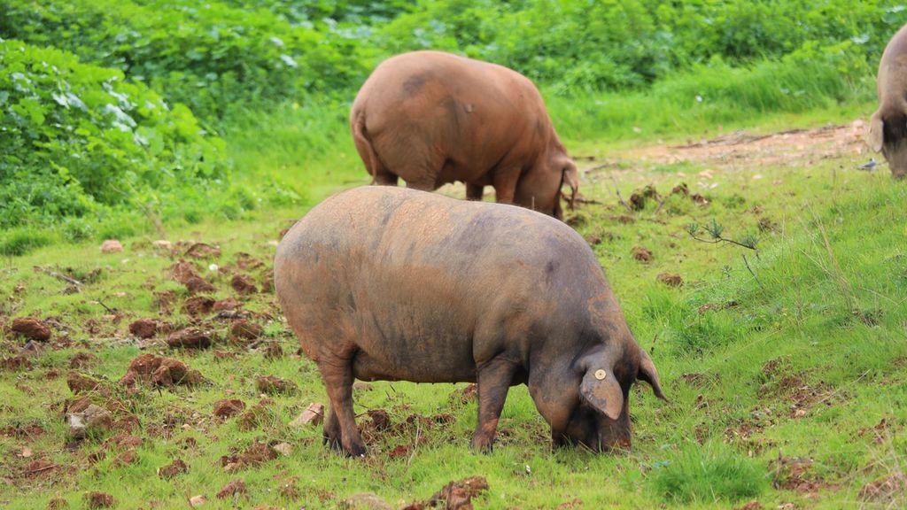 Cerdo de embutidos Alejandro