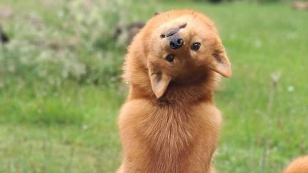 """Un perro arrasa en la Red al hacer el truco del 'exorcista': gira su cabeza cada vez que escucha la palabra """"demonio"""""""