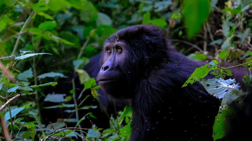 Los virus respiratorios humanos han sido fatales en el pasado en chimpancés y gorilas