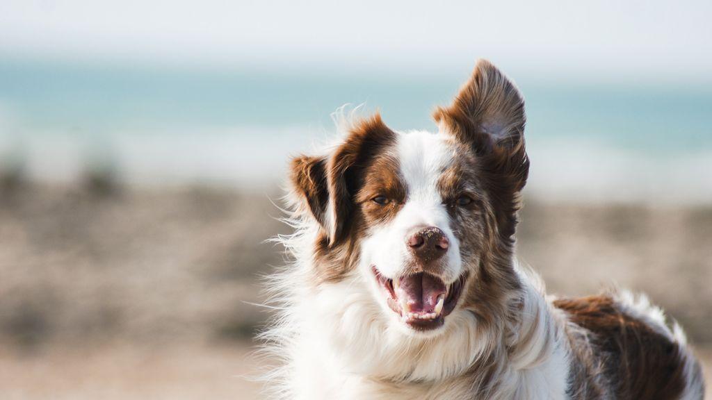 Limón, perfumes o guindilla: olores normales para los humanos, pero muy desagradables para los perros