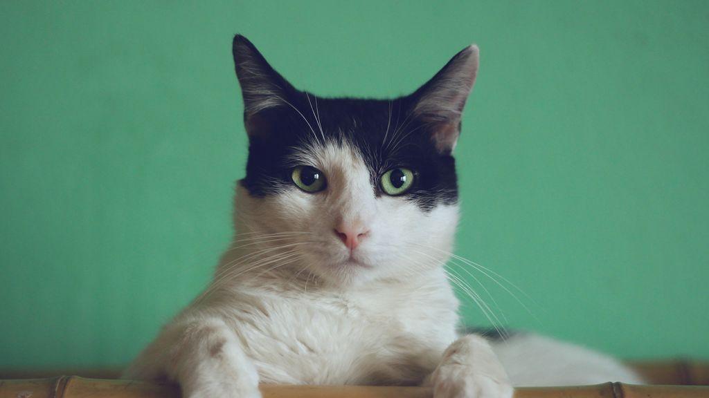 """""""A mi gato le ha cambiado el color de pelo"""": los motivos más habituales"""