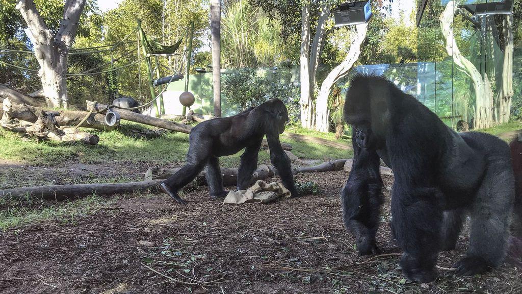 gorilas san diego