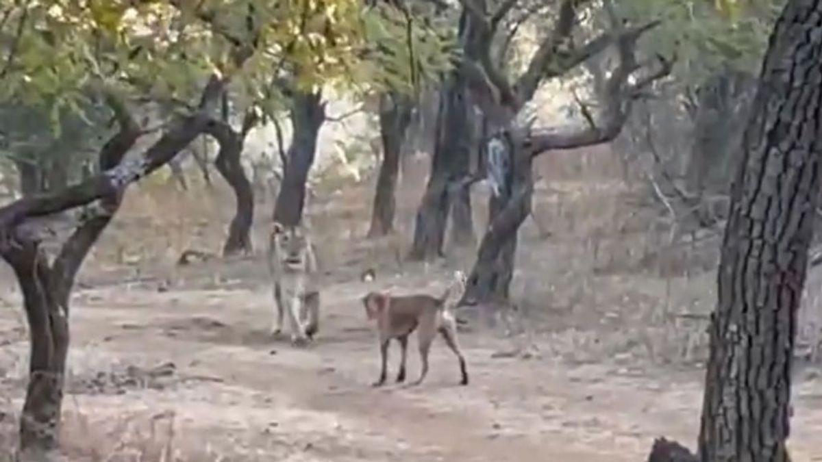 Un perro sale victorioso tras pelearse con una leona en un parque natural de la India