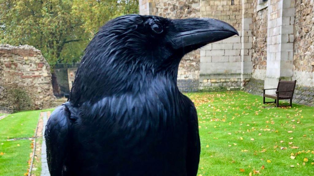 Merlina, el cuervo de la Torre de Londres que hace temblar al Reino Unido