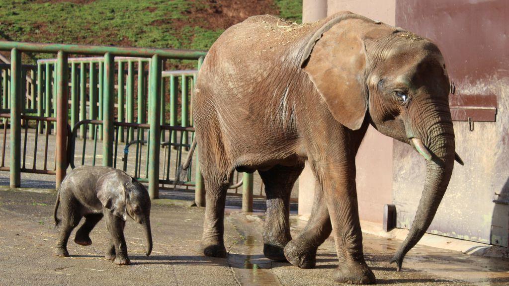 Cabárceno da la bienvenida a un nuevo elefante: así ha sido la odisea de su madre, la 'superviviente' de la manada