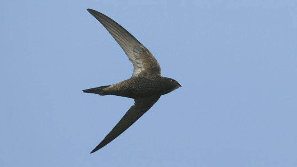 Los Goya de las aves ya tienen ganador de 2021: el vencejo común