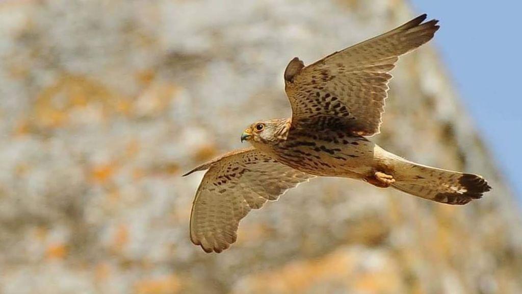 Un cernícalo primilla en vuelo