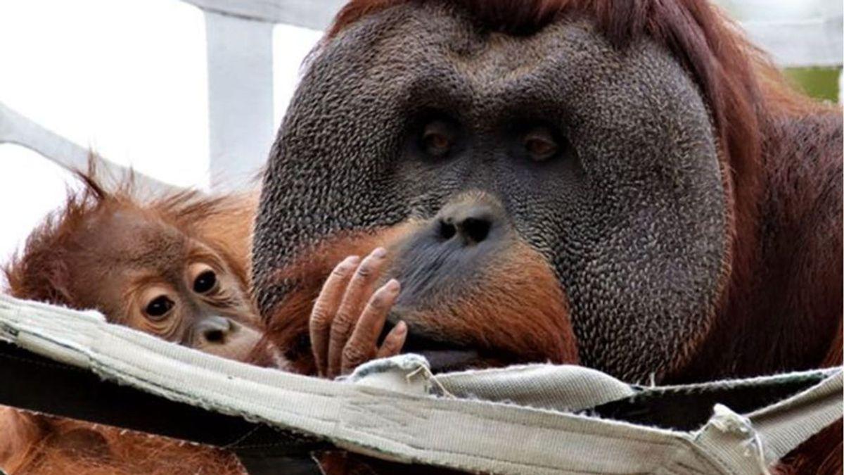 Amor de padre: un orangután se hace cargo de su cría tras la muerte de su madre