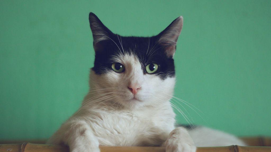 Asma en gatos, una enfermedad peligrosa que puedes ayudar a mejorar