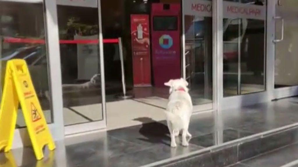 Una perra aguarda en la puerta de un hospital día tras día esperando pacientemente a su dueño