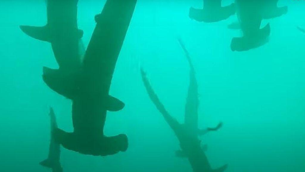Buceando entre  más de 200 tiburones martillos en las costas australianas