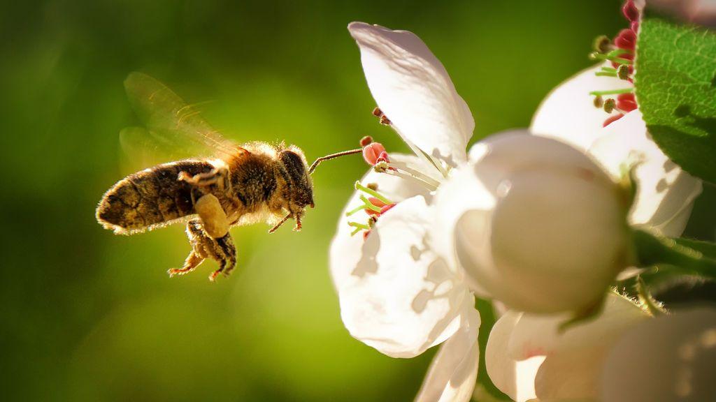 Una cuarta parte de las especies de abejas conocidas no se han visto desde hace más de 30 años