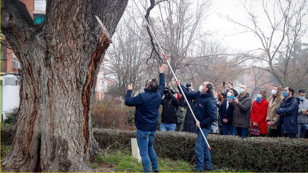 Madrid clona los árboles centenarios dañados tras el paso de Filomena