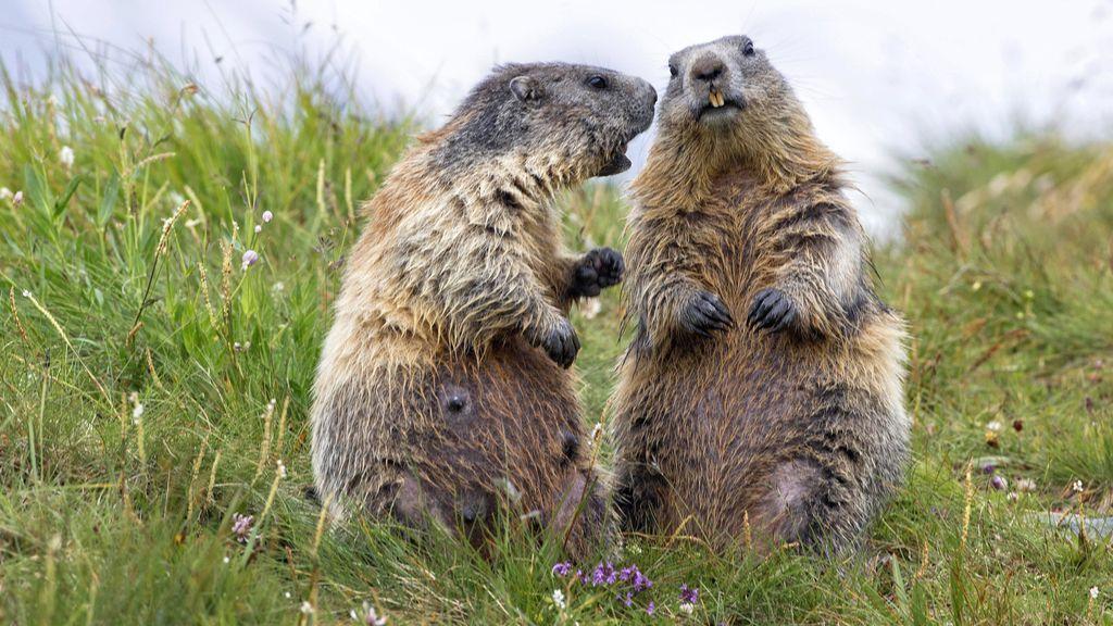No solo los humanos tenemos dialectos: las marmotas controlan lo que pasa gracias a sus dialectos