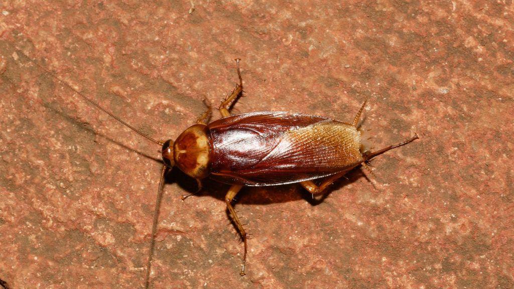 Mito o realidad: ¿pueden las cucarachas sobrevivir a una explosión nuclear?