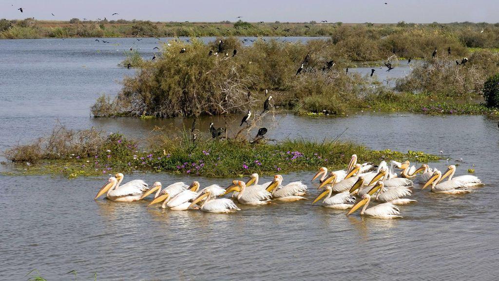 Muerte masiva de 750 pelícanos en uno de los mayores santuarios de aves de África