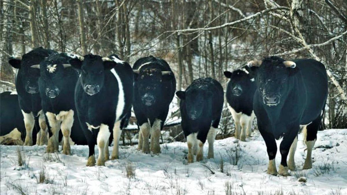 Manadas de vacas salvajes pueblan Chernóbil