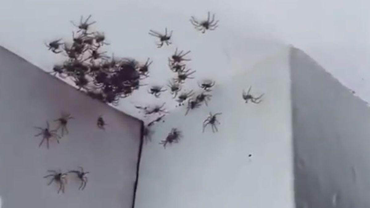 Una madre se encuentra la habitación de su hija totalmente plagada de arañas en Australia