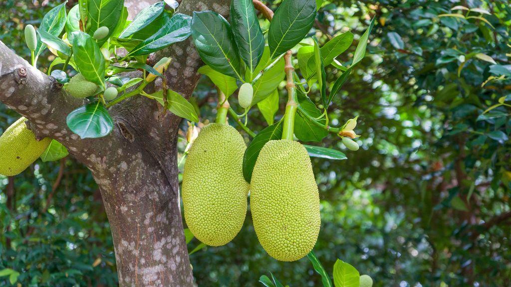 Jackfruit o yaca
