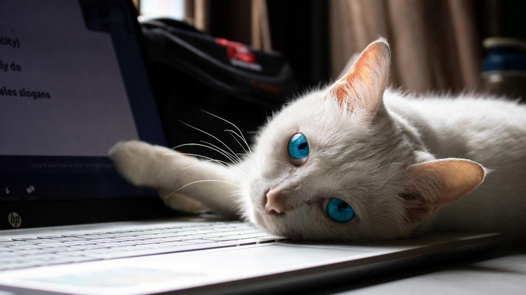En época de teletrabajo, gato al ordenador: te explicamos su fascinación por estos aparatos