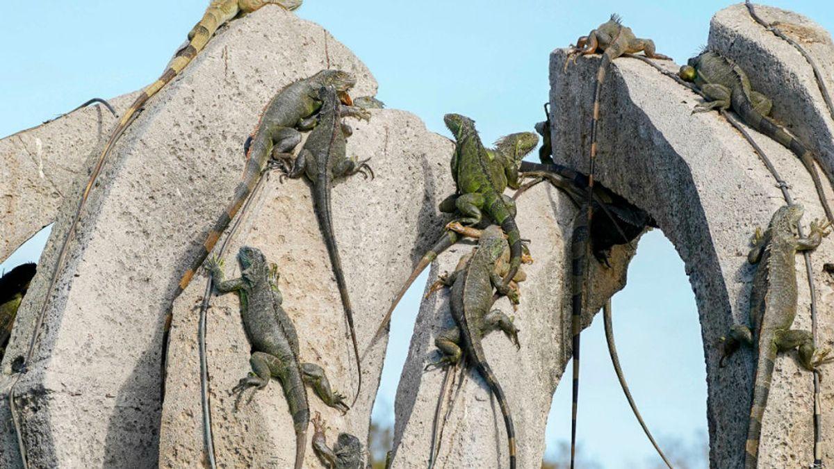 """Florida pronostica una """"lluvia de iguanas"""" por congelación debido a las bajas temperaturas"""