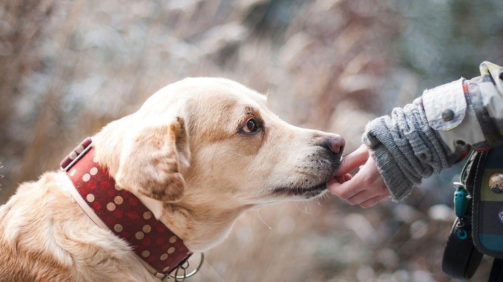 Los perros detectan el covid también en asintomáticos con una eficacia de un 94% , según un estudio