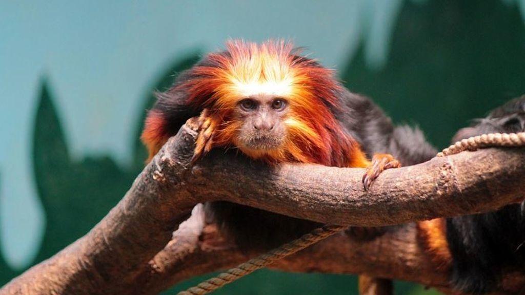 Los monos tití escuchan conversaciones ajenas y toman decisiones según lo escuchado