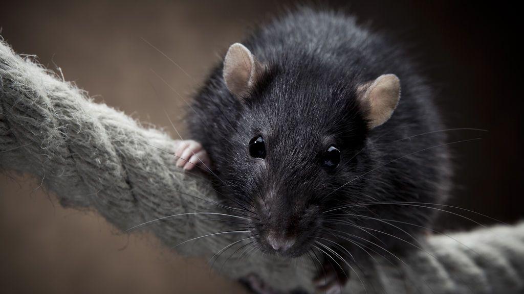 Ratas negras en Madrid: una especie invasora que todavía no es una plaga
