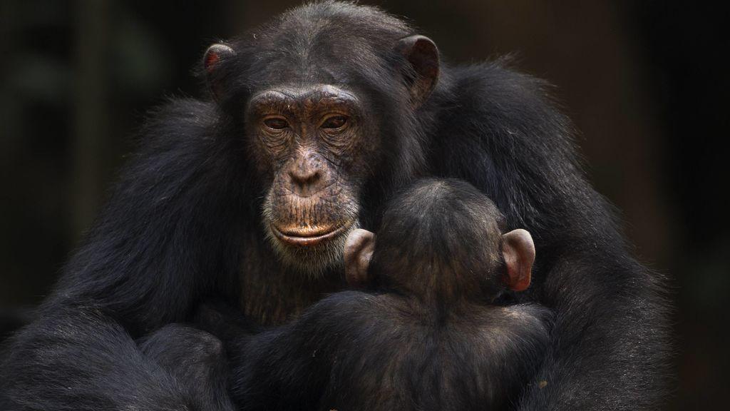 Descubren la misteriosa enfermedad que mata a los chimpancés en África occidental desde hace 15 años