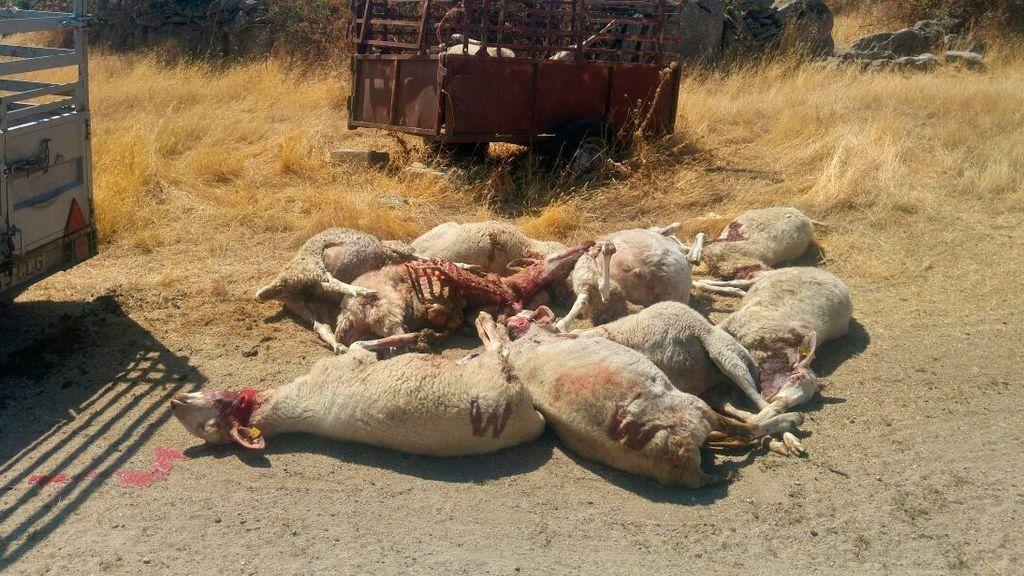 Un ataque de lobos mata a 59 ovejas en una finca vallada en Zamora