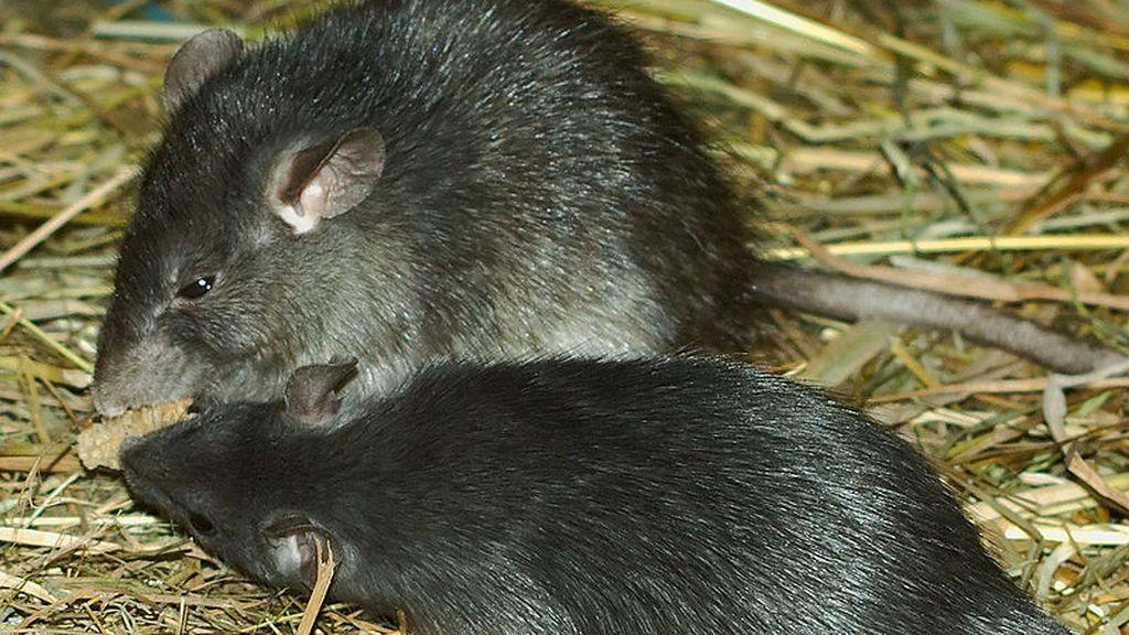 ¿Por qué hay tanto miedo a la rata negra en Madrid? ¿Puede transmitir enfermedades?