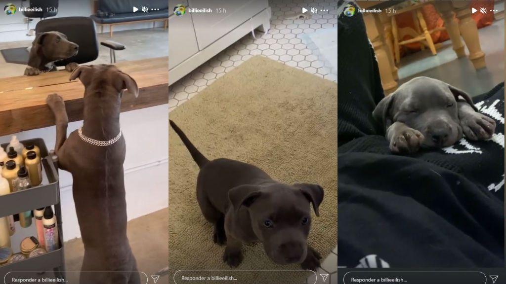 Shark, el perrito adoptado de Billie Eilish que ha cumplido un año