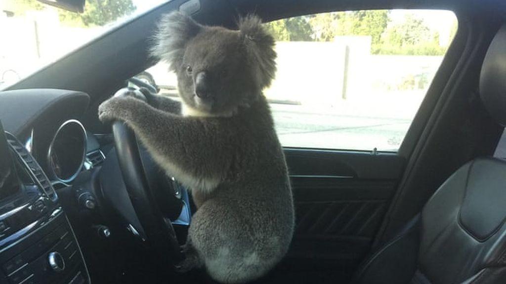 Un koala se pone al volante después de causar un accidente múltiple en Australia