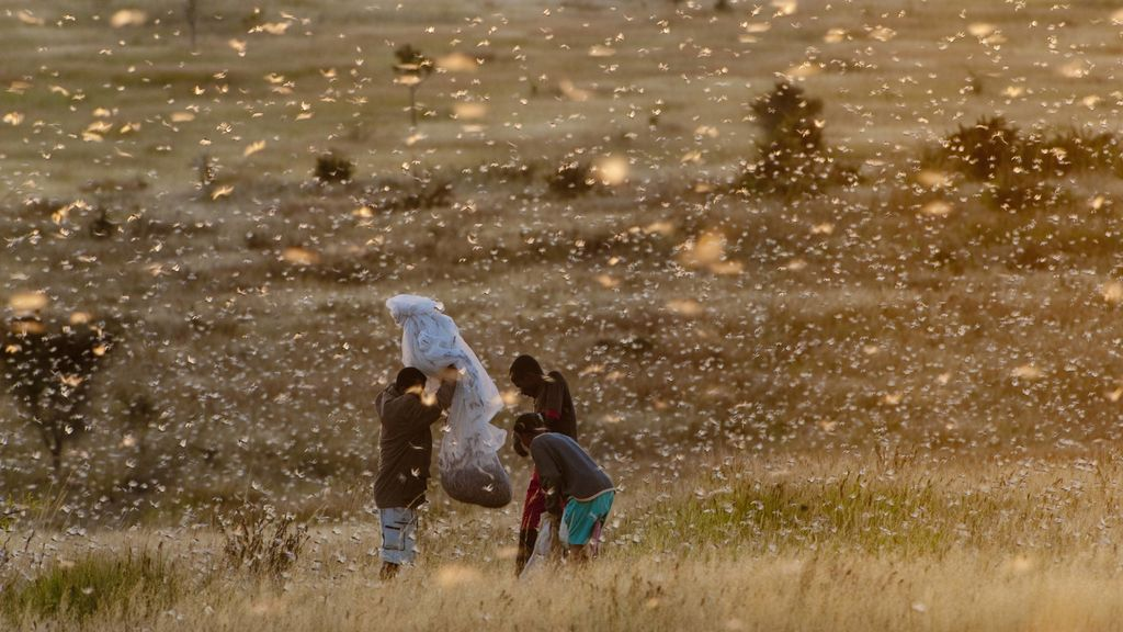 De plaga a fuente de proteínas: una empresa quiere normalizar la langosta como alimento en Israel