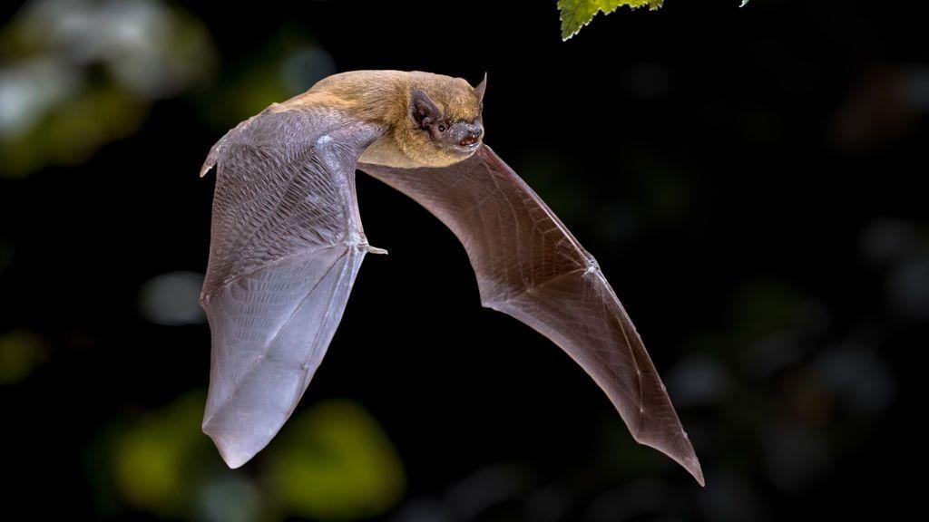 Los anticuerpos de murciélagos y pangolines neutralizan el SARS-CoV-2.