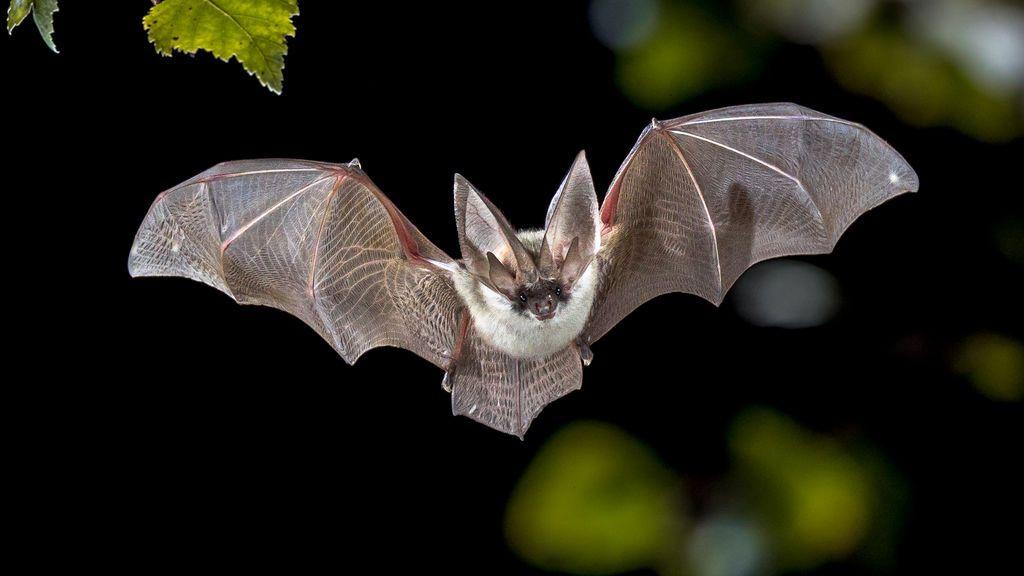 Hallan un murciélago con un nuevo coronavirus similar al que originó la pandemia