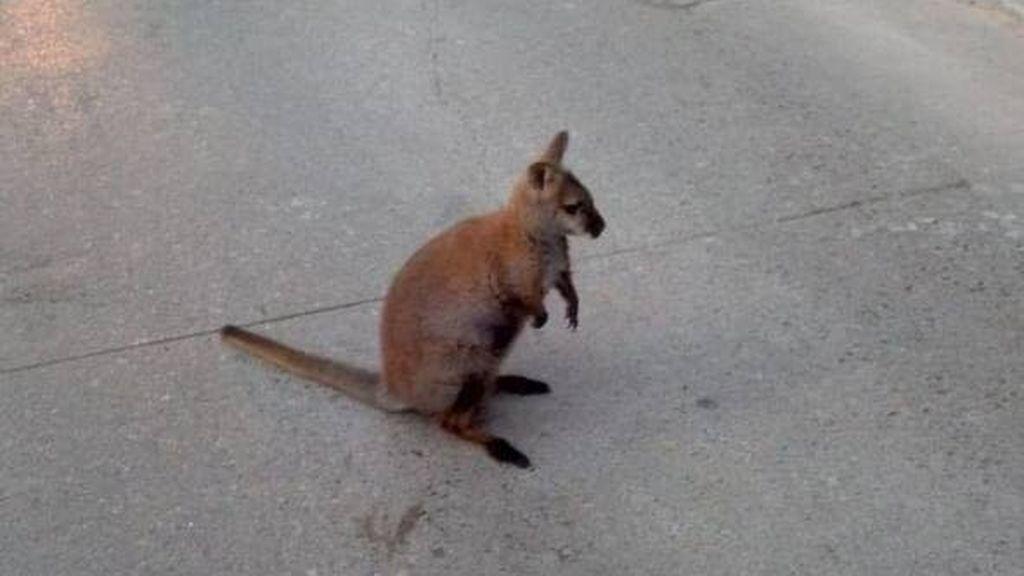 Atrapan a un canguro que saltaba por las calles de Roda de Ter en Cataluña