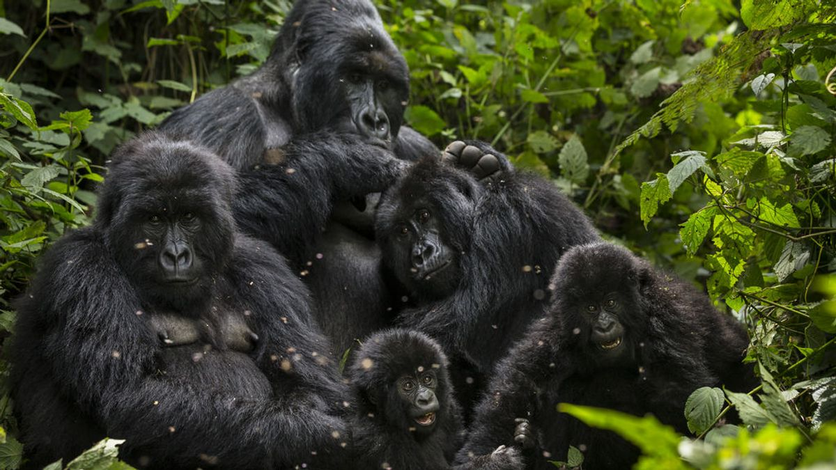 'Selfies' peligrosos: Los turistas pueden contagiar el coronavirus a los gorilas salvajes al hacese fotos con ellos