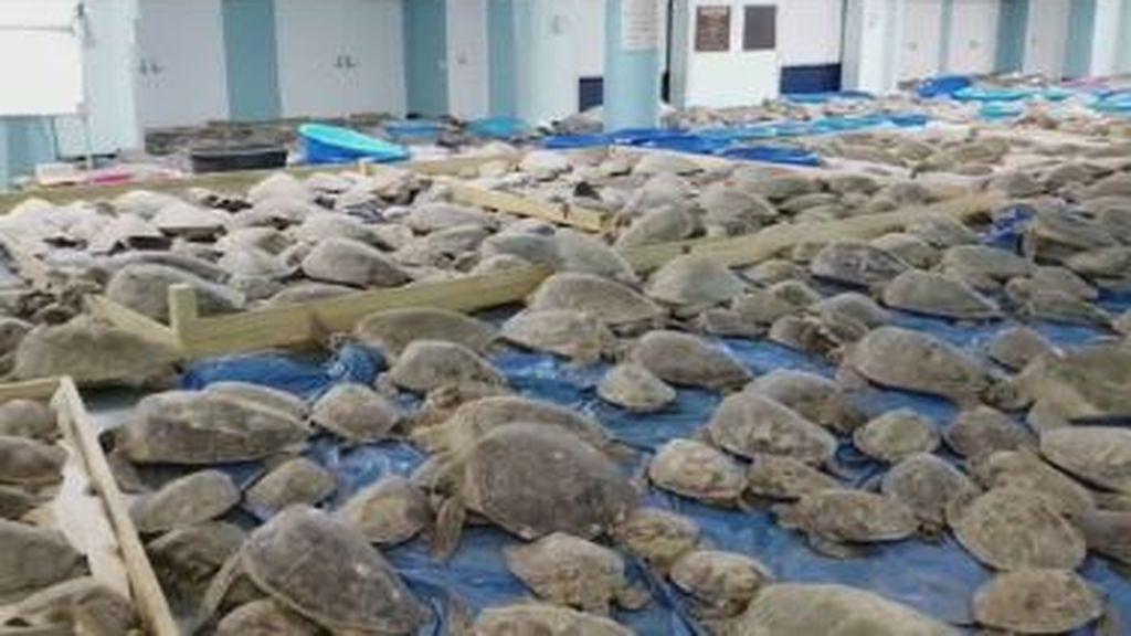 Resultado de imagen para tortugas en costas de texas