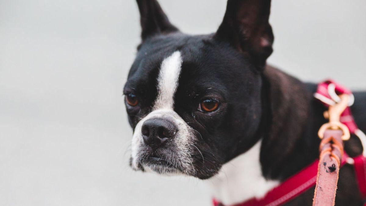 """Polémica subasta de un perro en Lugo, al que catalogan como bien mueble: """"Lo reducen a un simple objeto"""""""